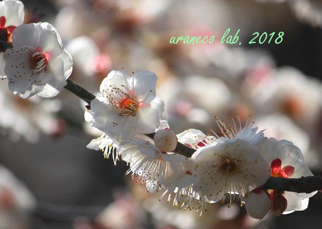 2月5日白梅3