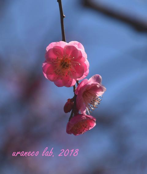 2月5日紅梅2