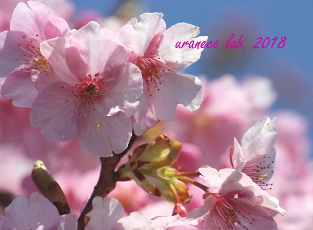 2月5日河津桜6