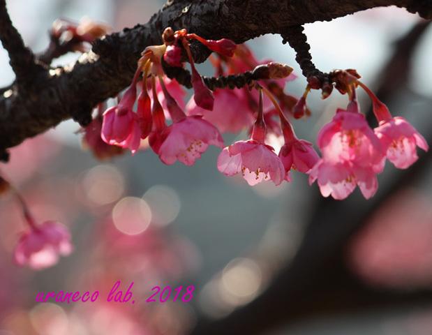 2月5日河津桜10