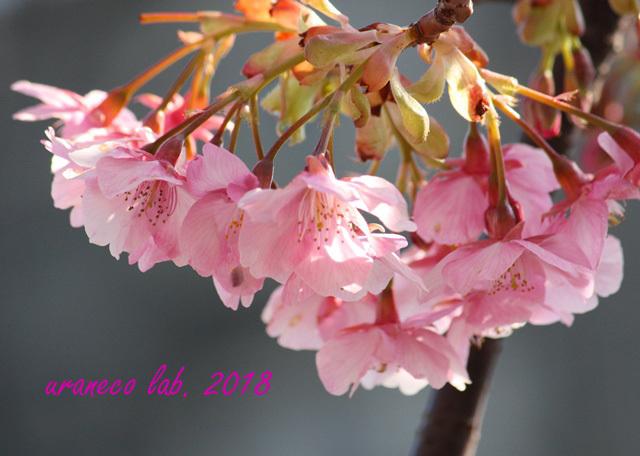 2月5日河津桜5