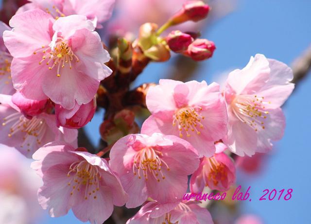 2月5日河津桜3