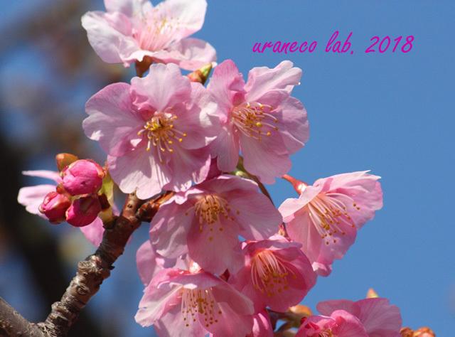 2月5日河津桜2