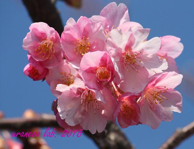 2月5日河津桜