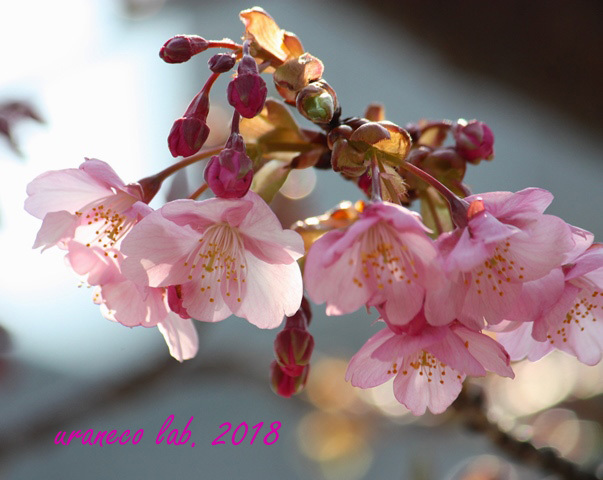 2月5日河津桜12