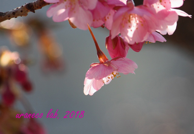 2月5日河津桜13