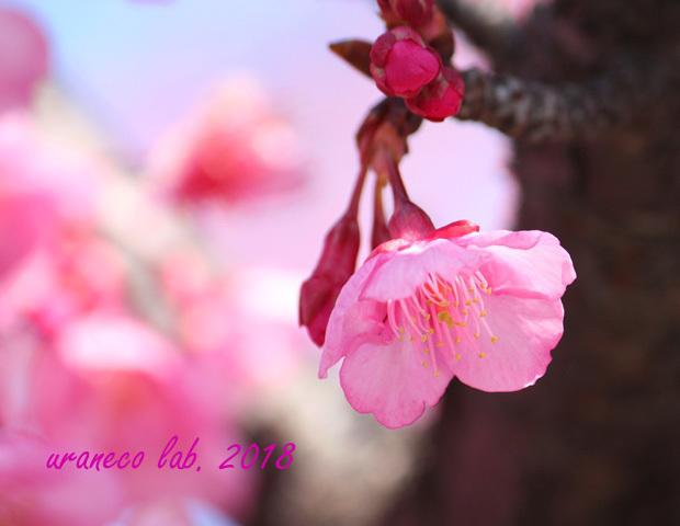 2月5日河津桜11