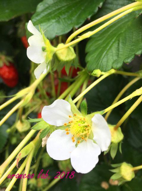 2月14日イチゴの花