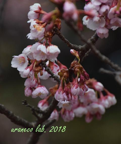 2月19日寒桜2