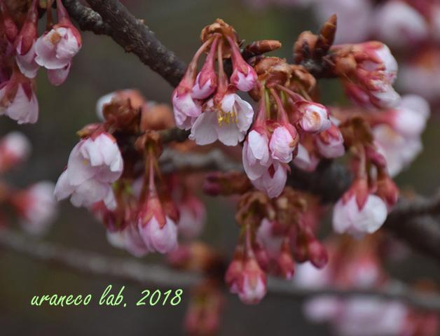 2月19日寒桜