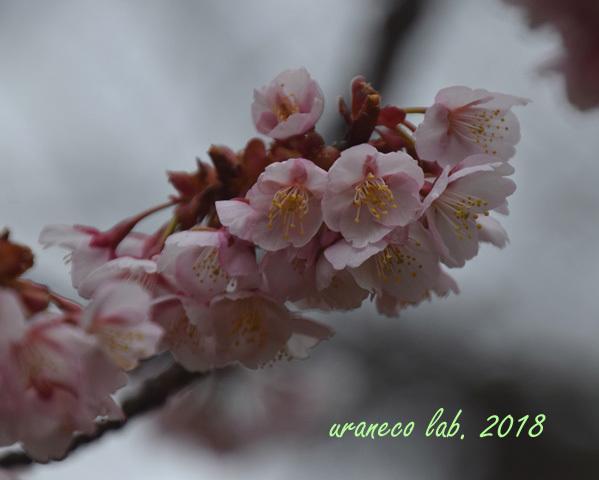 2月19日寒桜3