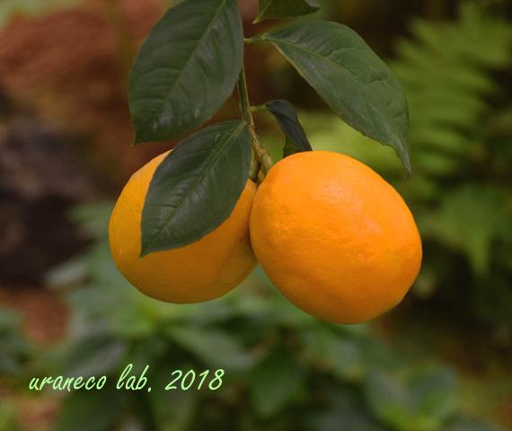 2月19日レモン