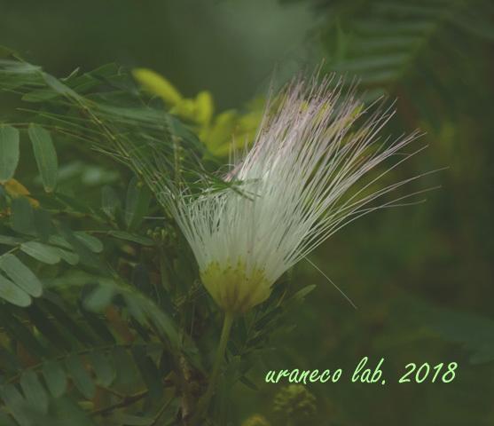 2月19日合歓の木