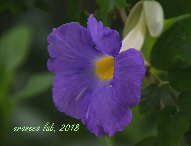 2月19日コダチヤハズカズラ紫