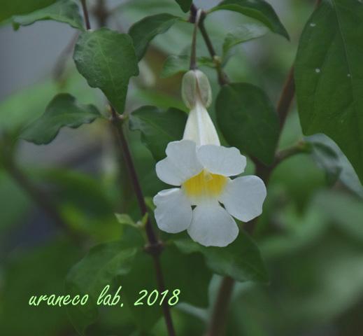 2月19日コダチヤハズカズラ白花