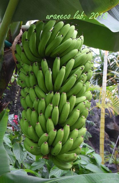 2月19日バナナ