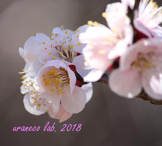2月24日桃色梅2