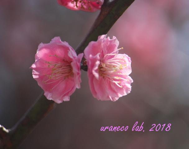 2月24日桃色梅