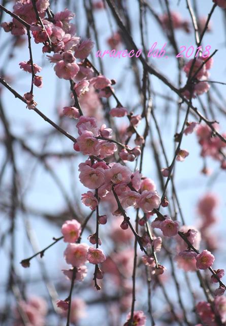 2月24日枝垂れ梅