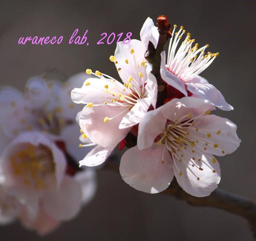 2月24日桃色梅3