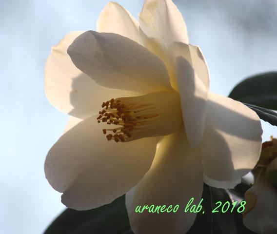 2月24日白椿3