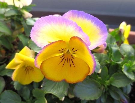 IMG_1029虹色スミレ黄色