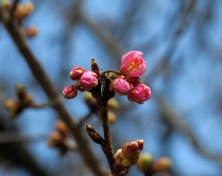 002河津桜