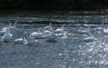 078荒川の白鳥Ⅰ