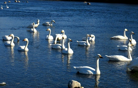 113荒川の白鳥