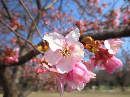 IMG_1114南町公園の河津桜