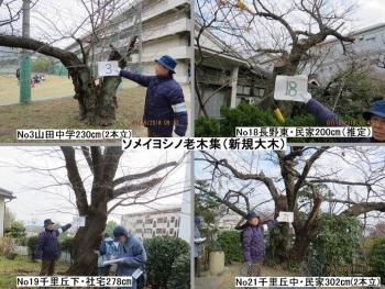 03 008サクラ4本zz