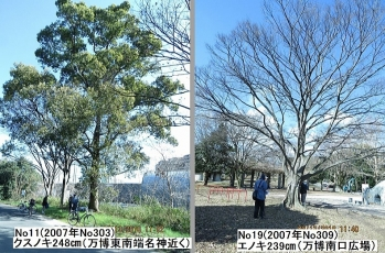 19 127万博南側大木