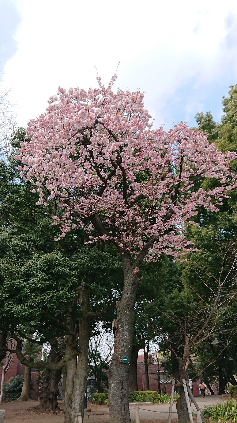 上野の桜 1 blog