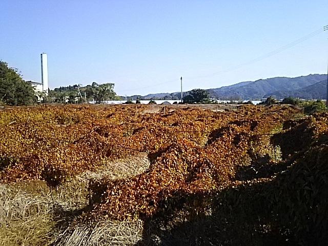 自然薯第一圃場11月27日