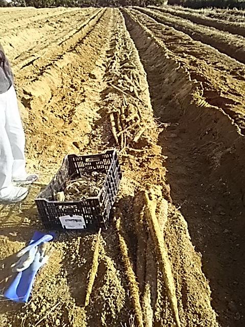 12月8日掘り掘り