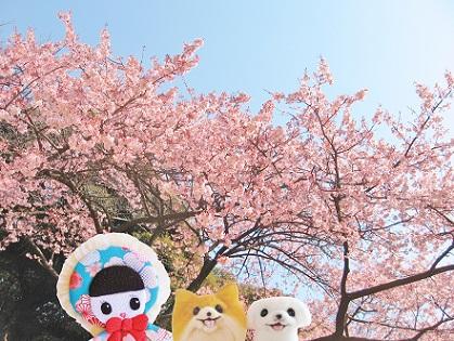 今年も、お世話になりました 新宿御苑の河津桜です