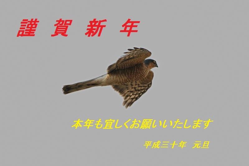 DSC_6441-ハイタカ♂-B