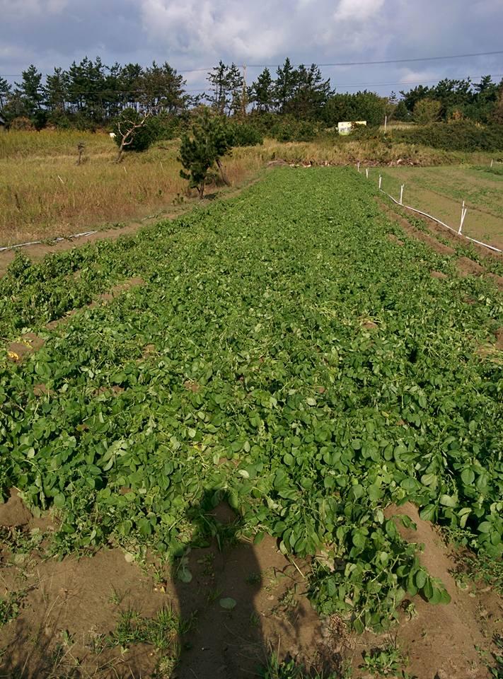 台風で煽られたジャガイモ畑