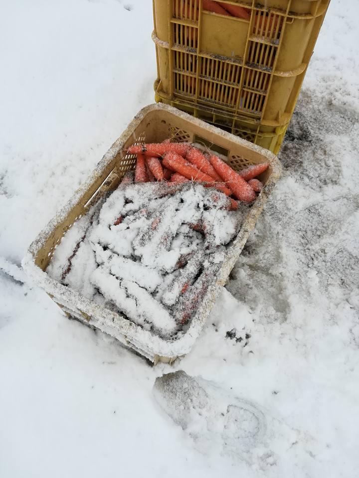 雪中にんじん収穫_収穫