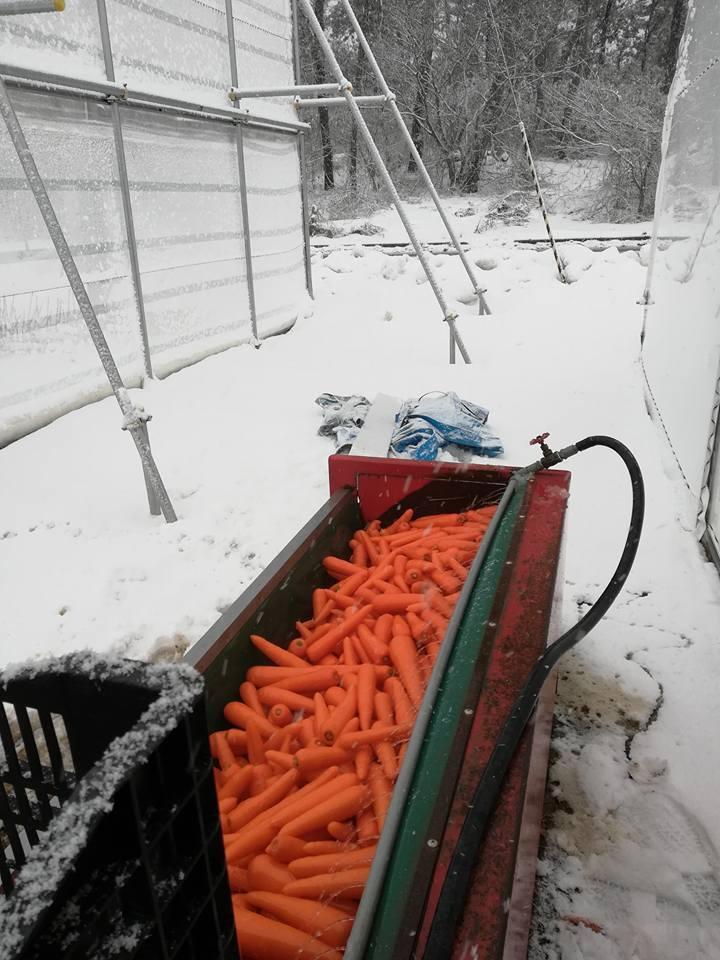 雪中にんじん収穫_洗い
