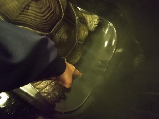 ゾウガメの温浴 (7)
