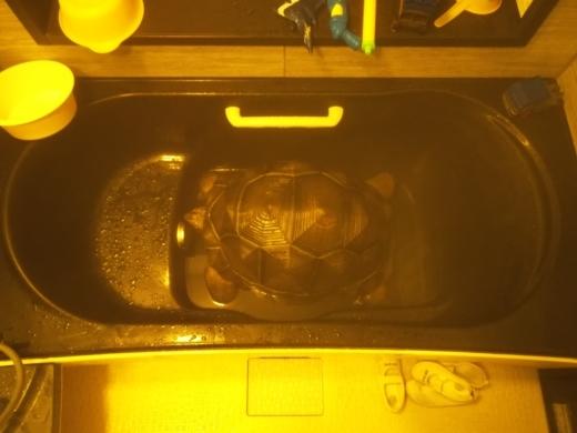 ゾウガメの温浴 (8)