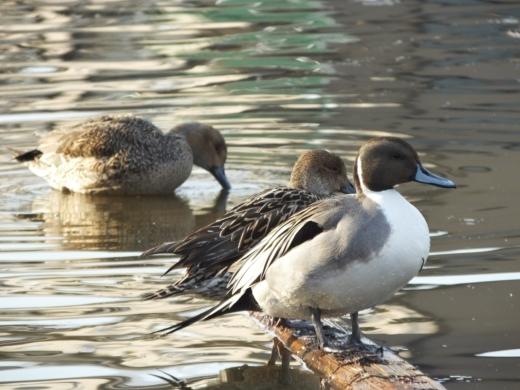 水鳥 (2)
