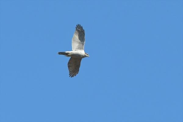 オオタカ成鳥20180207-2