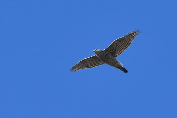 オオタカ幼鳥20180207-2