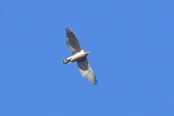 オオタカ成鳥20180207-1