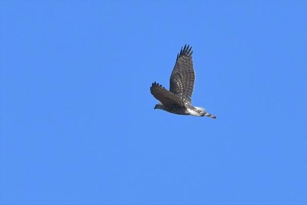 オオタカ幼鳥20180207-3