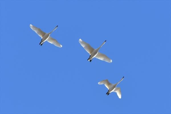 白鳥20171228-1
