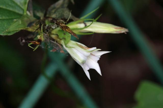 ツルリンドウ(蔓竜胆)