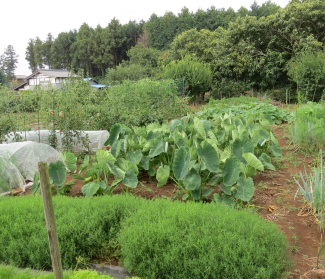 夏の菜園1